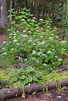 Hydrangea arborescens White Dome , Lychnis Firefly, Hosta Christmas Tree, Lysimachia, Heucher