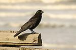 Kalaloch beach. Split log fence with blackbirds.