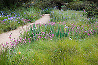 Red Fescue, Festuca rubra grass and wildflowers by pathway in naturalistic drought tolerant spring Meadow garden, Menzies California native plant garden