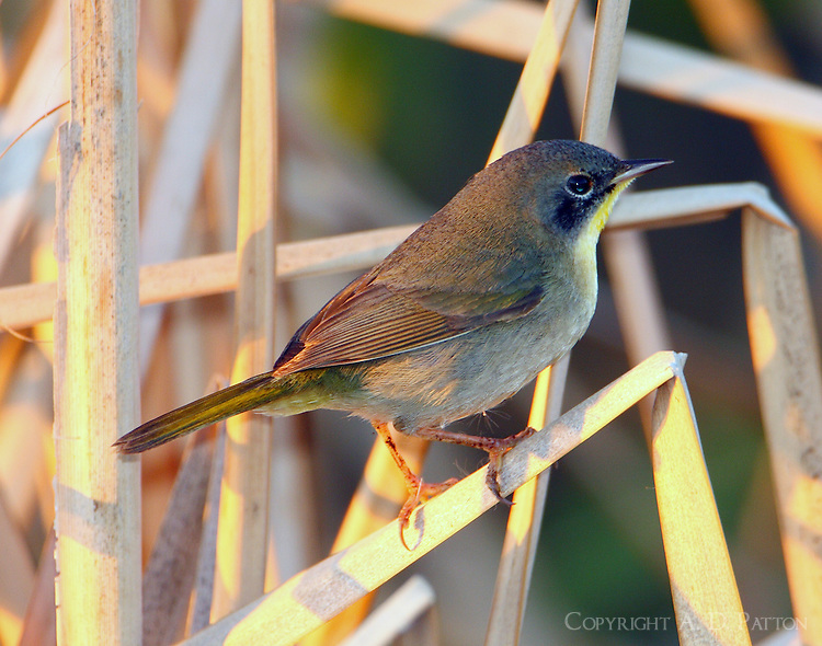 Common yellowthroat male in first-winter plumage
