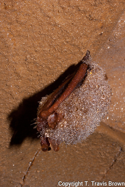 Eastern Pipistrelle (Perimyotis subflavus) covered in condensation during hibernation