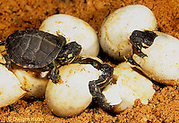 1R13-036z  Painted Turtle - hatching from eggs in sand - Chrysemys picta