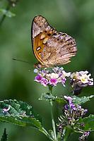 Mexican Fritillary Butterfly on Lantana