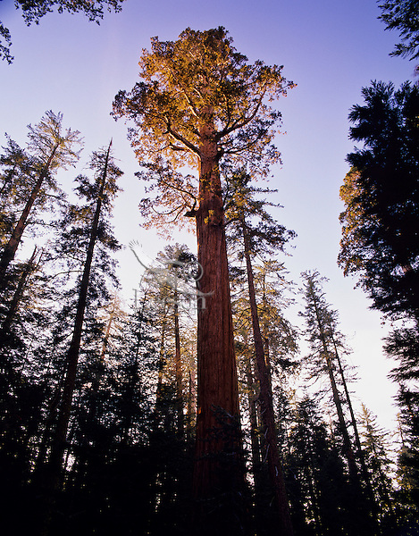 Giant Sequoia Tree (Sequoia gigantea).  Sequoia National Park, CA.