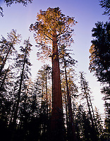 Giant Sequoia Tree (Sequoia gigantea).  Sequoia National Park, CA.
