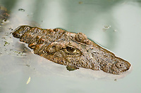 Broad-Snouted Caiman Caiman latirostris native to SE region of S. America Highly endangered