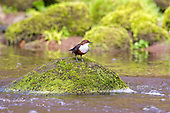 White-throated Dipper (Cinclus cinclus) perched on moss covered rocks. Dippers have a remarkable way to catch food in a niche area. They are able to dive under water readily at will and walk along the bottom in search of caddis fly larva and other food.