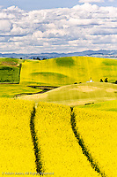 Elevated view of tractor tracks, rolling hills of canola and wheat crops, Palouse region of western Idaho.