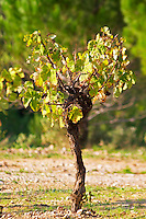 Chateau Mire l'Etang. La Clape. Languedoc. Old, gnarled and twisting vine. France. Europe. Vineyard.