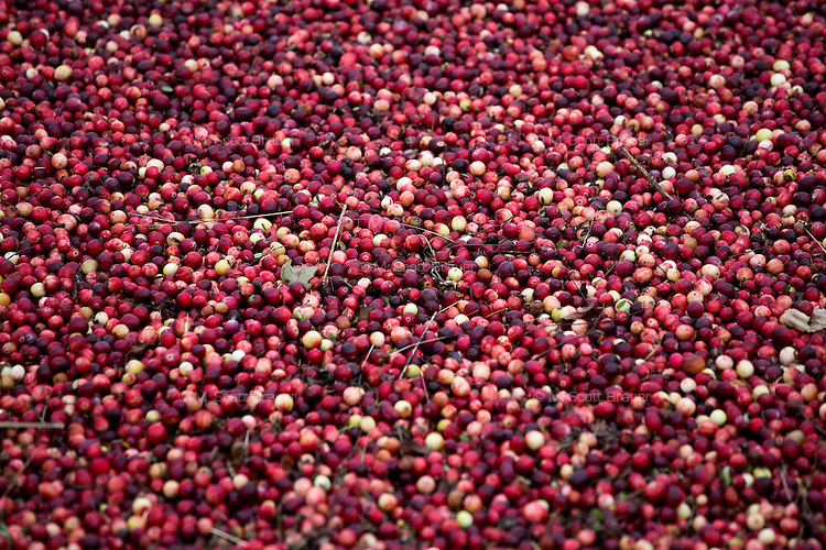 Cranberries float in a bog waiting for harvest during the AD Makepeace Company's 10th Annual Cranberry Harvest Celebration in Wareham, Massachusetts, USA. AD Makepeace is the world's largest producer of cranberries. These cranberries, wet harvested with varied colors, are destined for processing into juice, flavoring, canned goods and other processed foods.