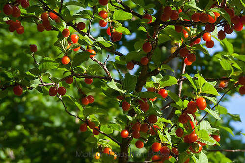 Ripe Nanking cherries, Prunus tomentosa, tree in summer, Loveland CO, USA