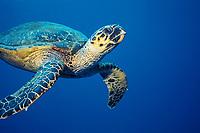 hawksbill sea turtle, Eretmochelys imbricata, Egypt, Africa, Red Sea, Indian Ocean