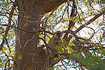 Vervet Monkey and Baby in Tree Perch in Chobe National Park in Botswana in Africa