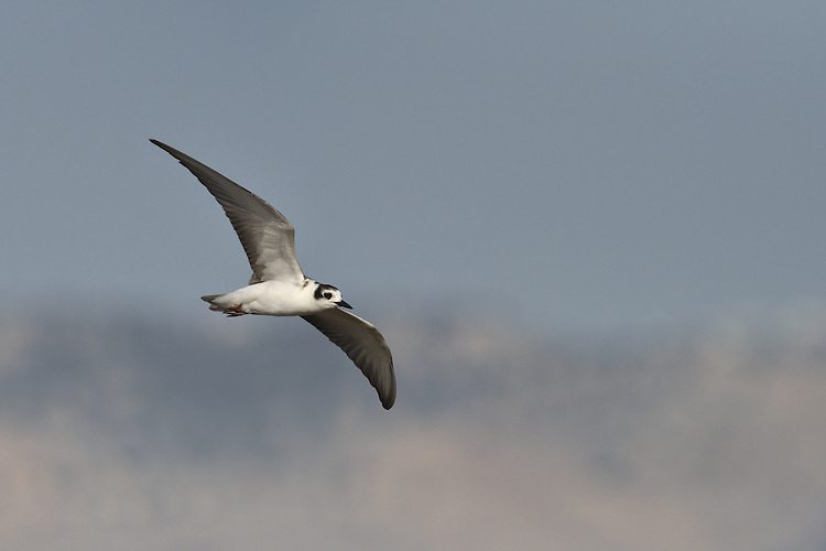 White-winged Black Tern - Chlidonias leucopterus<br /> immature/1st autumn