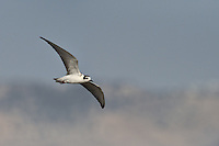 White-winged Black Tern - Chlidonias leucopterus<br /> immature/1st autumn
