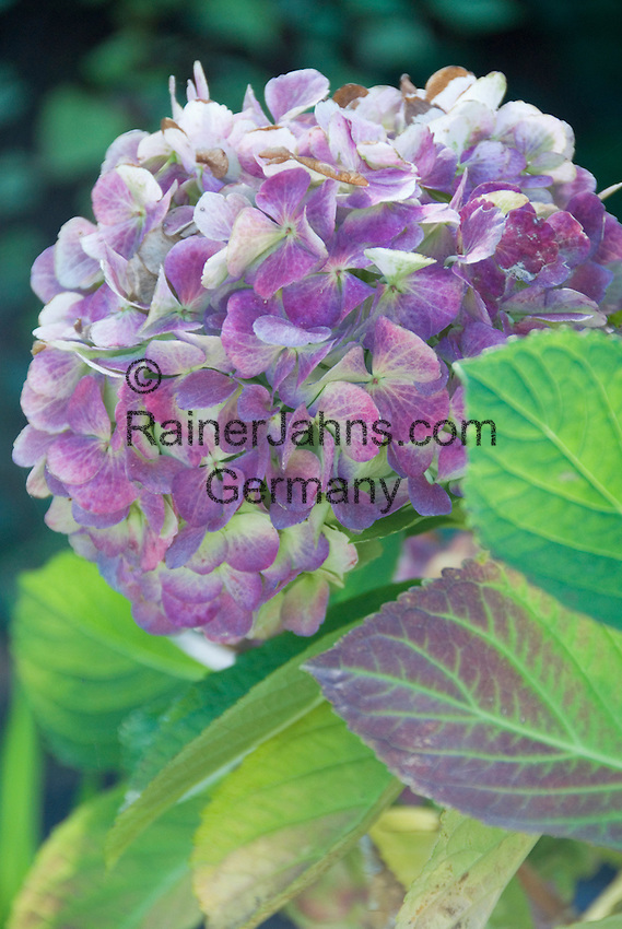 Spain, Canary Islands, La Palma, Hortensia (Hydrangea)