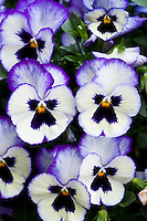 Trailing pansy flowers in container pot, 'WonderFall' Blu,e Picotee shades from Sygenta breeder