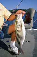 Striped bass caught on Cotton Cordell Redfin crankbait in Lake Ouachita, Arkansas