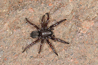 Plattbauchspinne, Plattbauch-Spinne, Glattbauchspinne, Glattbauch-Spinne, Scotophaeus spec., Gnaphosidae, Plattbauchspinnen, Glattbauchspinnen, ground spiders, hunting spiders
