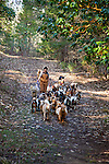 Gianaclis Caldwell takes the herd of Nigerian Dwarf Goats out to forage in the woods on the property of their farm.
