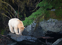 Unlike many other tours, I don't visit the popular spirit bear viewing platforms during my trips.  This can make it more difficult to find this rare white phase black bear, but it also means it can be seen in unique and beautiful surroundings.  We found this young kermode bear on our final day of exploration, and it ended up being one of the longest and most rewarding spirit bear encounters I've ever had.