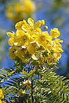 12845-CA flowers of Gold Medallion Tree, Cassia leptophylla, from Brazil, in August, at Descanso Gardens, La Canada, CA USA