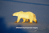 01874-01215 Polar Bears (Ursus maritimus) female with 1 cub walking on frozen pond  Churchill  MB