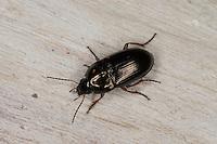 Gelbbeiniger Kanalkäfer, Laufkäfer, Amara familiaris, carabid beetle, ground beetle, sun beetle