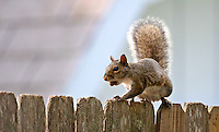 A squirrel   perches atop a fence in Holly Hill, FL as he eats an acorn, May 2011.    (Photo by Brian Cleary/www.bcpix.com)