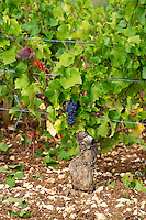 pinot noir vineyard mercurey burgundy france