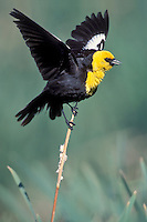 Yellow-headed Blackbird - Xanthocephalus xanthocephalus - Adult male breeding