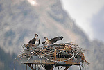 An osprey and chicks in a nest in Jackson, Wyoming.