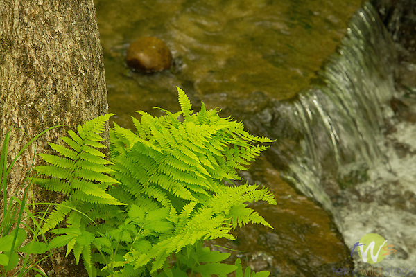 Spring ferns and brook background.