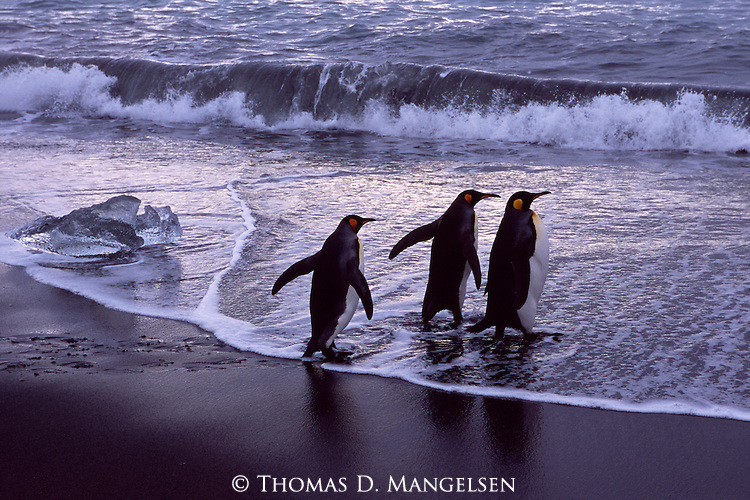 King penguins entering the ocean at Gold Harbour on South Georgia.