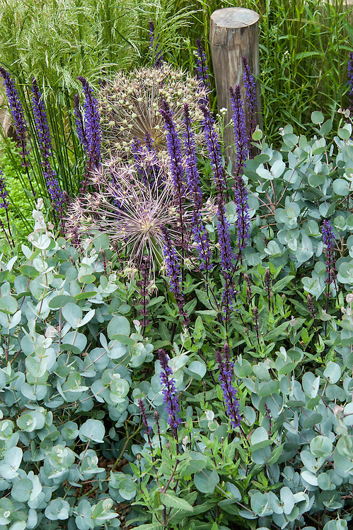 "Salvia nemorosa 'East Friesland' and Eucalyptus gunnii with flower heads of Allium christophii. ""Coastal Drift"" show garden, designed by Susan Willmott and Adele Ford, Hampton Court Flower Show 2012."