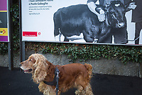 """Switzerland. Canton Ticino. Lugano. Shake is a Cocker Spaniel. Billboards with advertisements in the street. One for local agriculture with a cow and two farmers, the other for  Swiss Post. The English Cocker Spaniel is a breed of gun dog. It is noteworthy for producing one of the most varied numbers of pups in a litter among all dog breeds. The English Cocker Spaniel is an active, good-natured, sporting dog standing well up at the withers and compactly built. There are """"field"""" or """"working"""" cockers and """"show"""" cockers. Swiss Post (French: La Poste suisse, Italian: La Posta Svizzera, German: Die Schweizerische Post, Romansh: La Posta Svizra) is the national postal service of Switzerland. A public company owned by the Swiss Confederation. 9.01.2020  © 2020 Didier Ruef"""