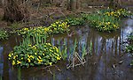 Caltha palustris, Kingcup or Marsh Marigold, yellow flowers with Flag Iris green leaves, Hollesley, Suffolk, England