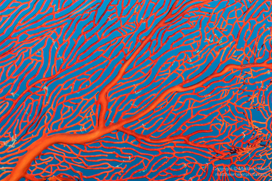 Bligh Waters, Vatu I Ra Passage, Fiji; pattern detail of a red sea fan against a blue water backgound