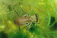 Arktische Smaragdlibelle, im Wasser lebende Larve, Nymphe, Libellenlarve, Somatochlora arctica, northern emerald, larva, larvae, La Cordulie arctique, Chlorocordulie arctique, Corduliidae, Falkenlibellen