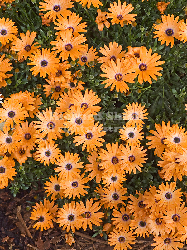 African Daisy, Osteospermum Orange Symphony