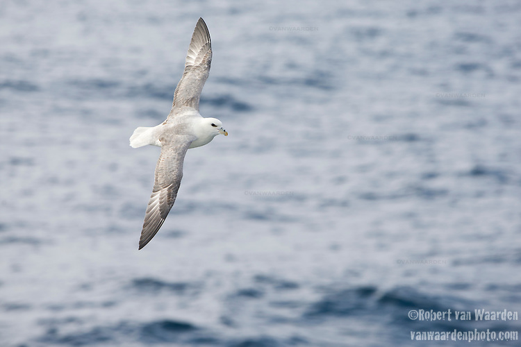 A fulmar (Fulmarus glacialis) rides the thermals of the ocean off the East coast of Baffin Island, Canada.