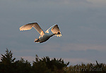 Mute Swan (Cygnus olor) in flight at sunrise, backlighting, Cape May Meadows, New Jersey, USA
