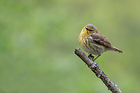 Cape May Warbler (Setophaga tigrina), female in breeding plumage, a spring migrant to Magee Marsh in Oak Harbor, Ohio foraging.