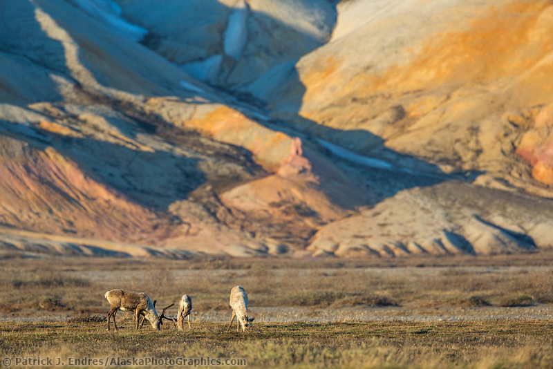 Barren ground caribou graze on the tundra in the late night sunshine along the Sag river and colorful Franklin bluffs, Arctic, Alaska.