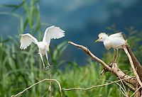 Cattle Egrets, Bubulcus ibis, landing on a branch at the shore of the Tarcoles River, Costa Rica
