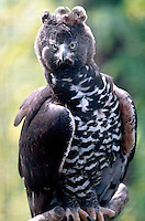 BIRDS OF PREY<br /> Crowned Eagle, Africa<br /> (Spizaetus coronatus)