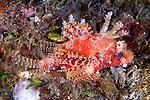 Dendrochirus brachypterus, Shortfin lionfish, Lembeh, Indonesia