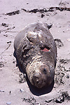 Yearling elephant seal with wound