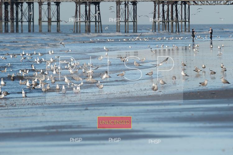 16/02/2011 Blackpool Lancashire UK.Seagulls gather at the waters edge....© Phill Heywood.