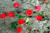 Blurred Camilias on sandy ground.